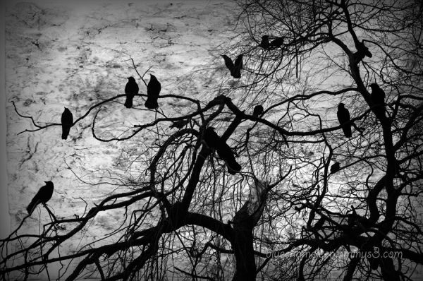 A silhouetted tree full of crows