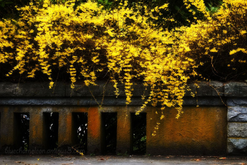 A forsythia bush growing over a stone bridge