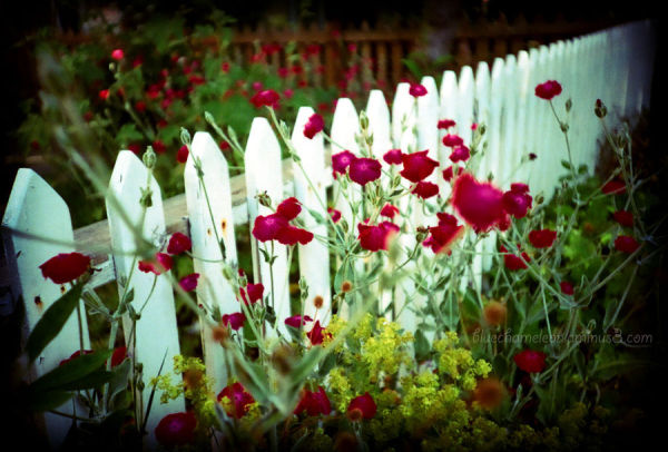 A white picket fence with bright fushia flowers