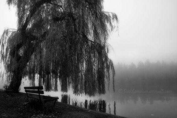 A weeping willow tree with bench by lagoon in fog