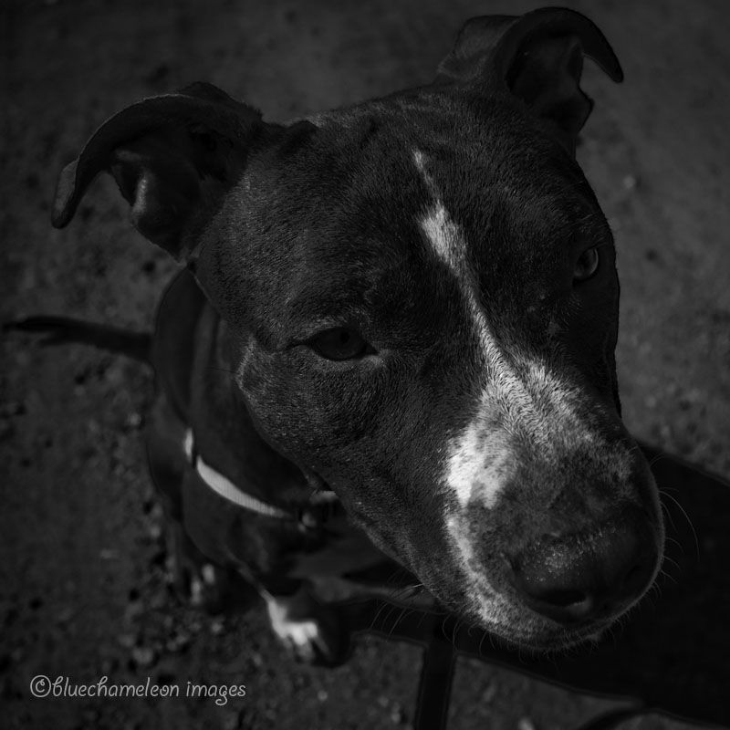 Wide angle close up of Pit Bull