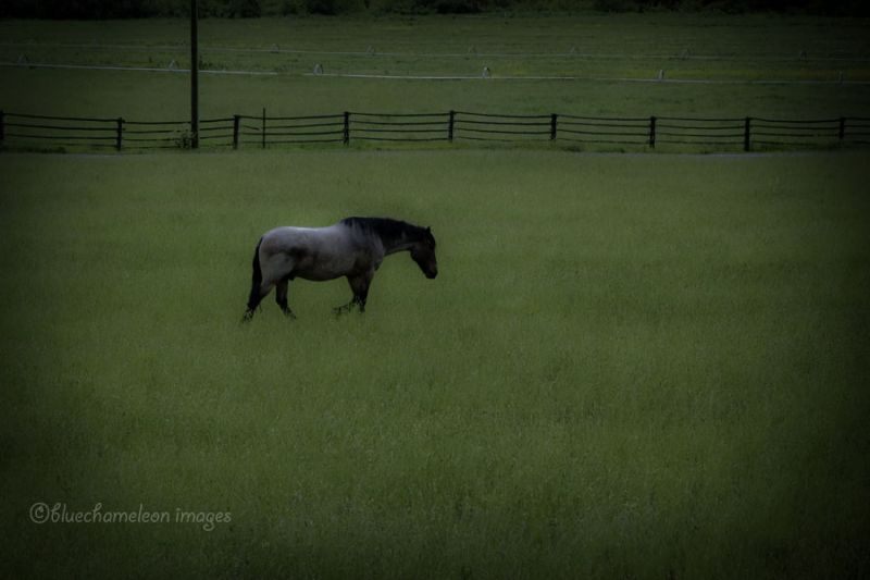 A lone horse walking across a grass field