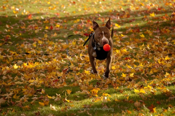 A dog chasing an orange ball through autumn leaves