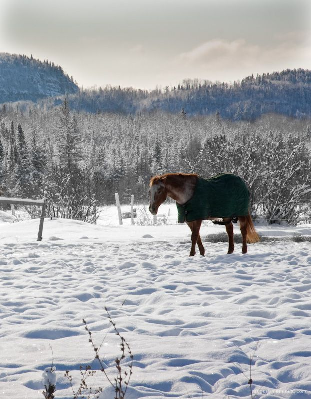 Horse enduring winter climate of northern Ontario