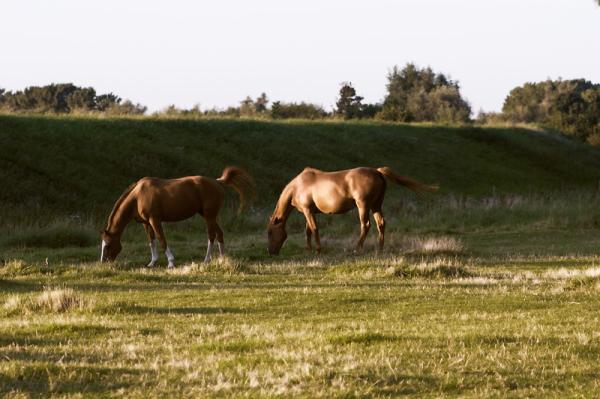 grazing in the evening sun