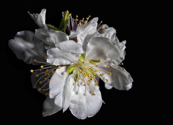 Flores Almendro