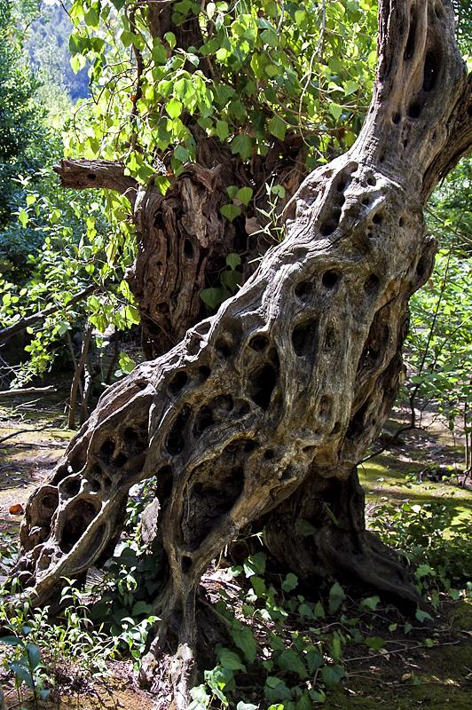 Viejo tronco