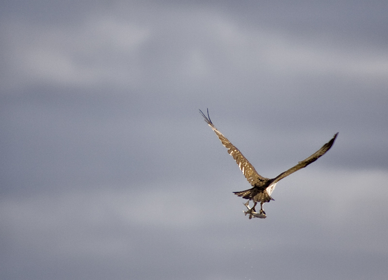 El águila