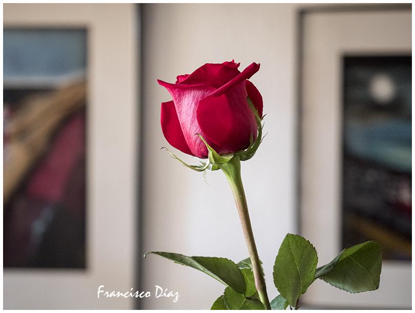 Rosa para comenzar septiembre