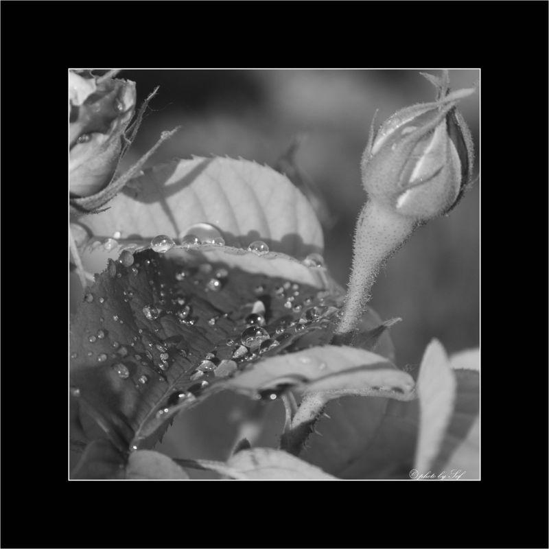 rose, eau