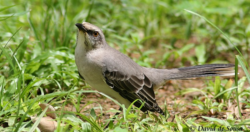 Tropical Mockingbird