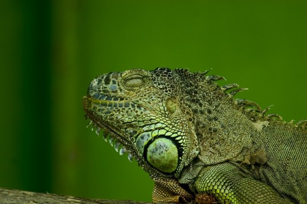 Mr. Lazy Iguana enjoying after lunch nap