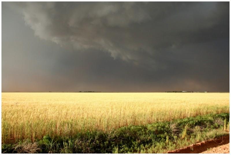 Wheat field in sunshine