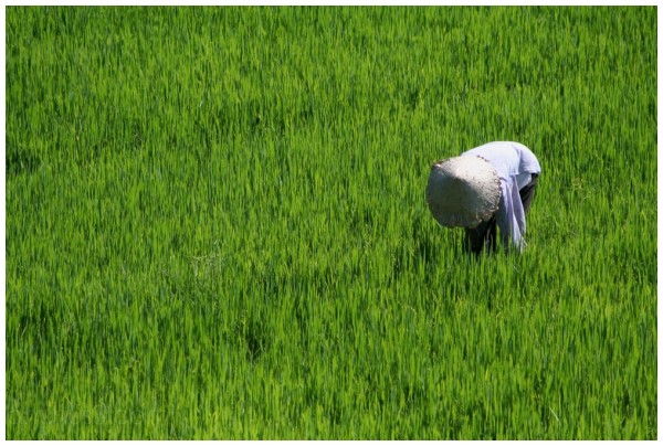 Woman in rice paddy