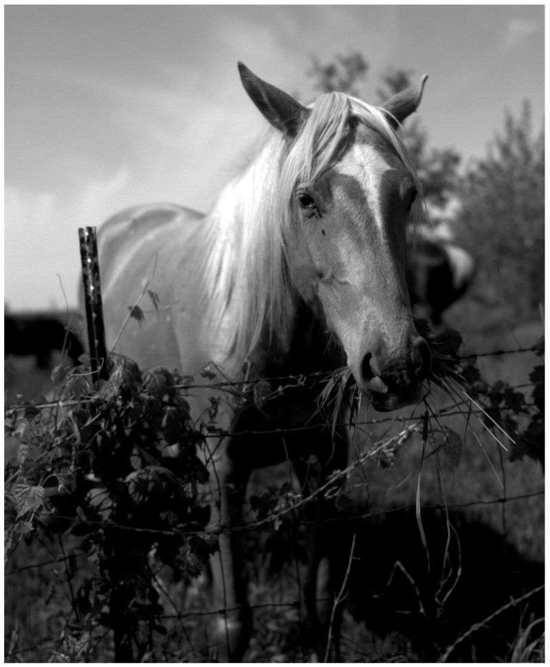 horse at a fence, missouri farm, photograph
