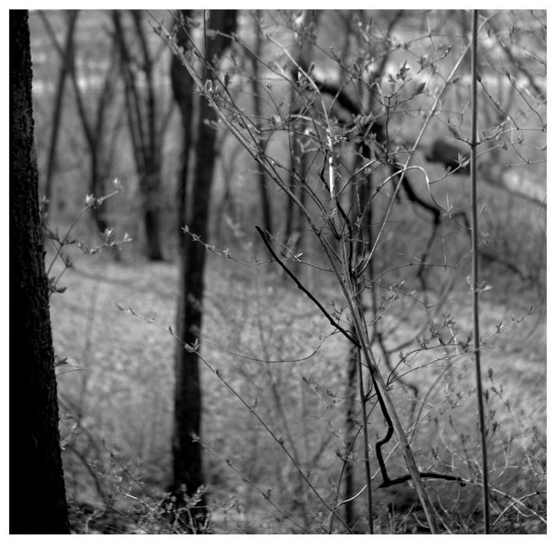 spring branches - b&w photograph, rolleiflex