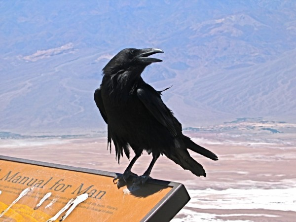 Raven in Death Valley National Park