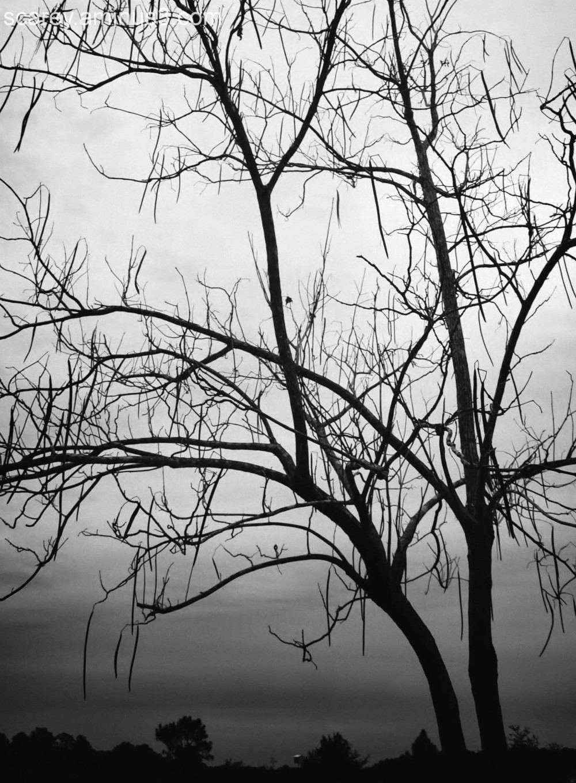 Catalpa tree in winter