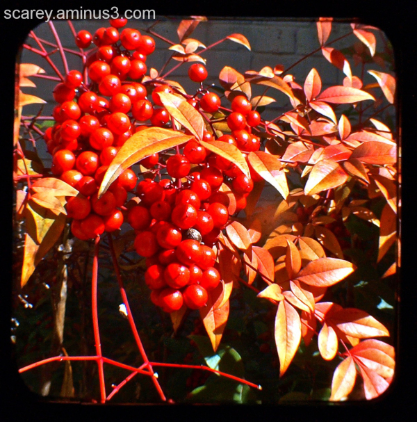 TTV image of nandina berries and foliage