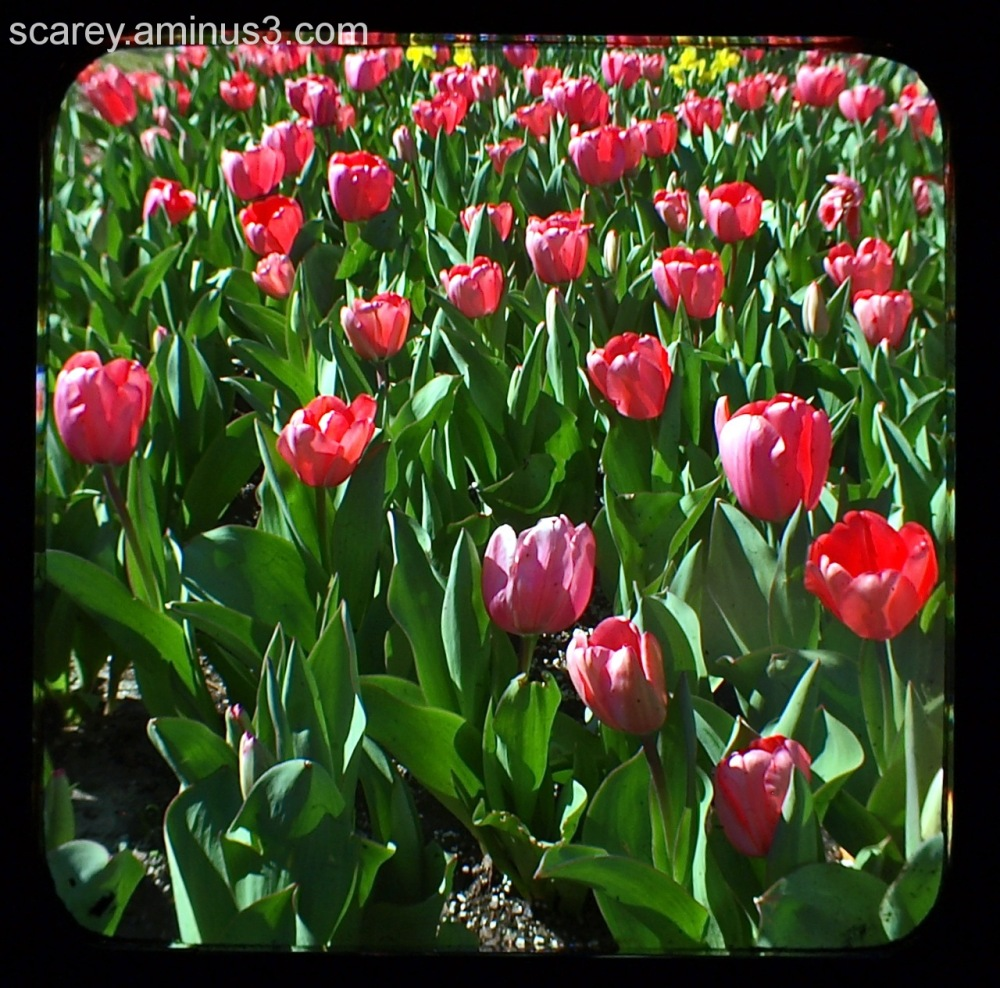 TTV Image of Tulips