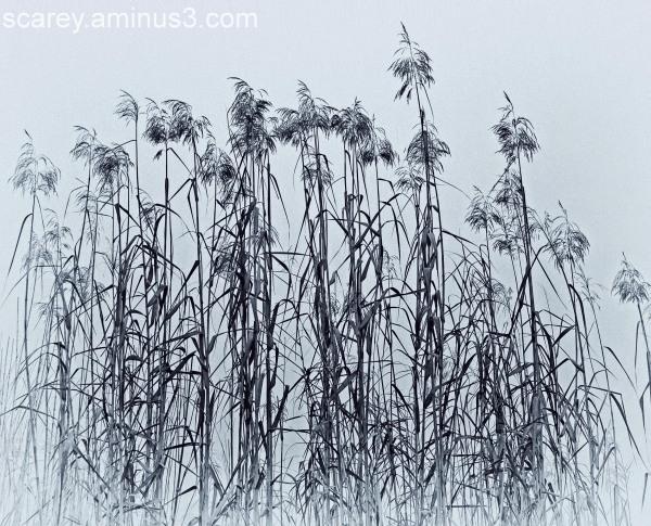 Reeds along Mobile Bay in the Fog