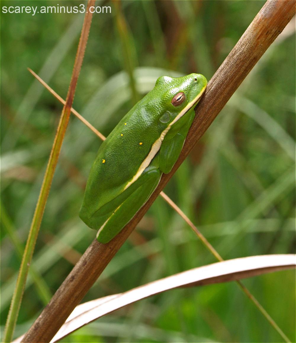 Green tree frog Weeks Bay Reserve Alabama