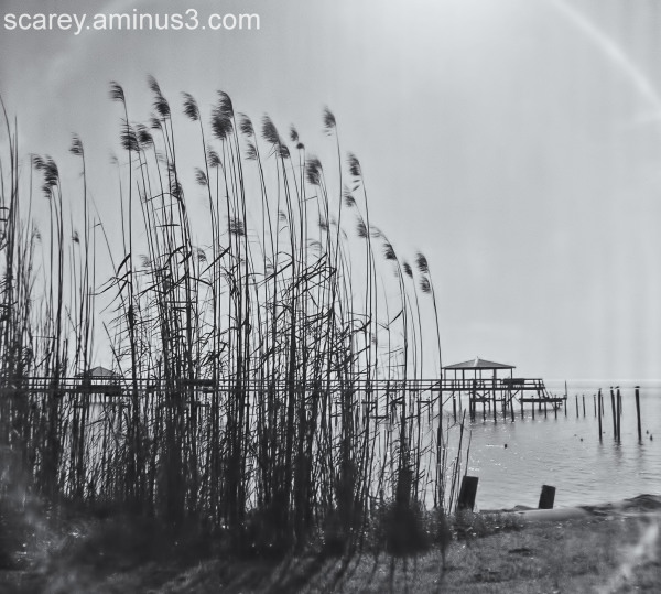 Black and White Image of Reeds