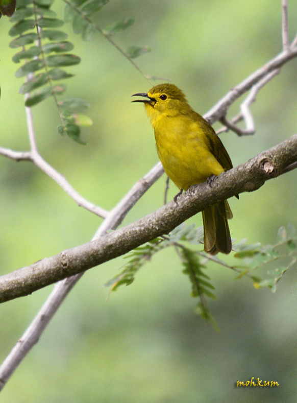 The Yellow-browed bulbul
