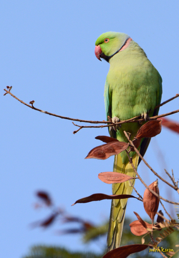 The rose-ringed parakeet!