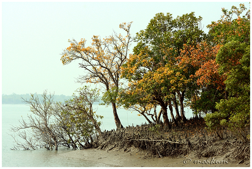 The mangrove trees