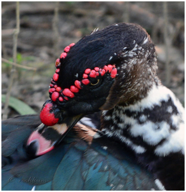 The beauty of the Muscovy duck!