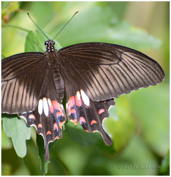The 'Common Mormon' Butterfly!