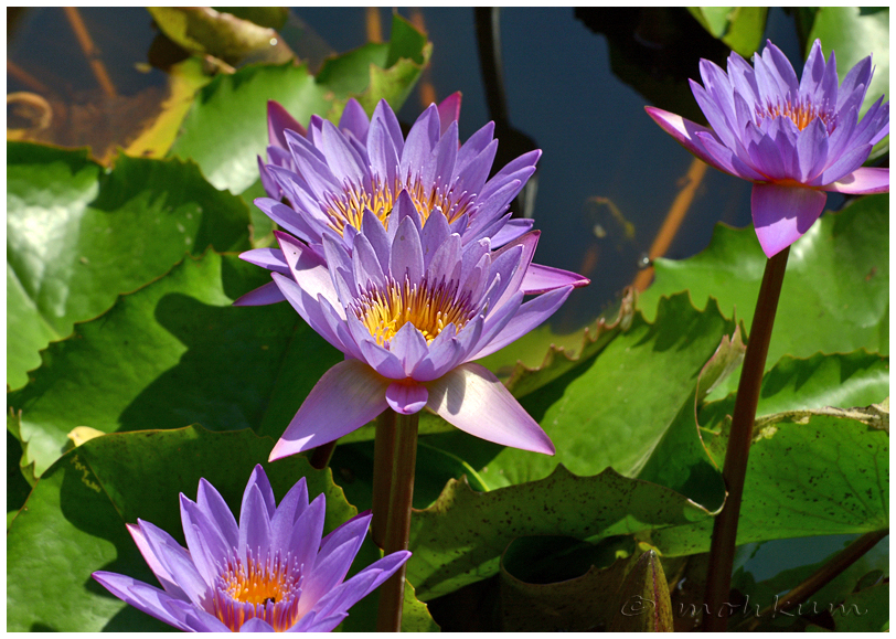 The violet waterlily!