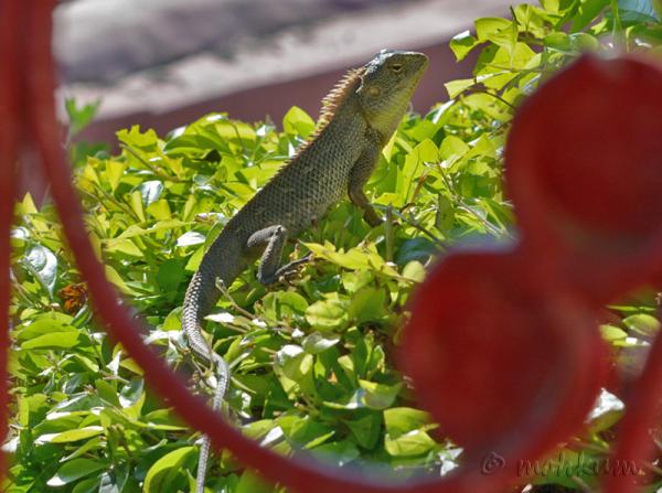 The garden Lizard!