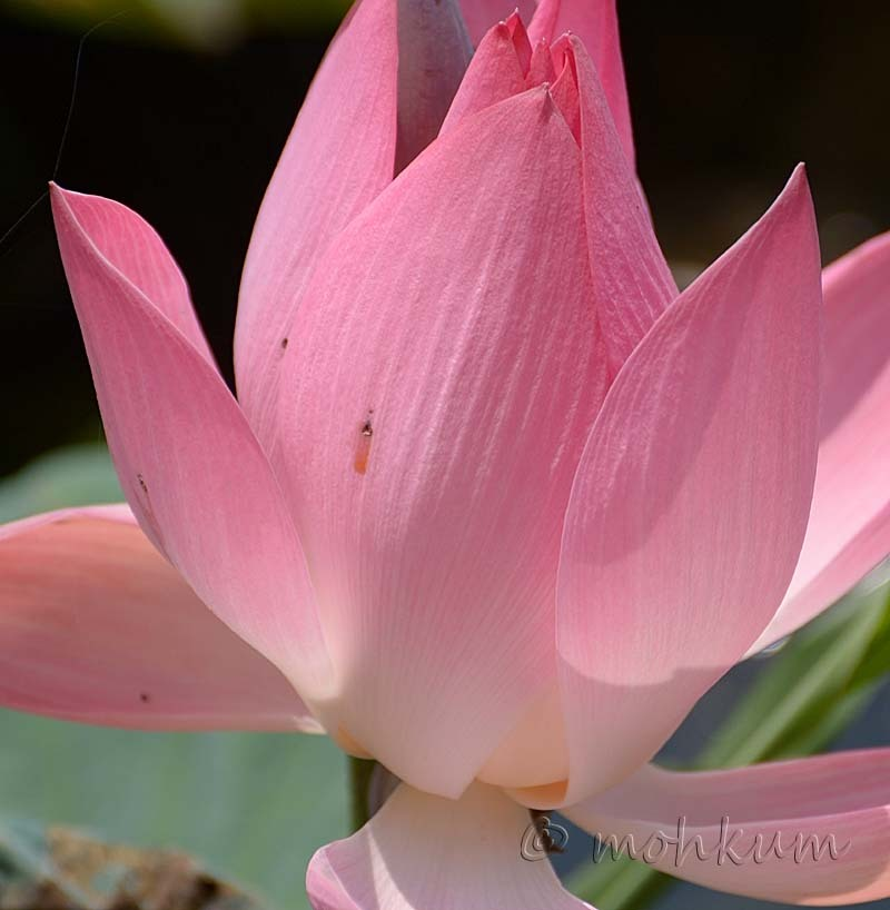 The blooming lotus flower!