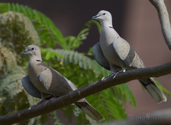 Two Laughing doves!