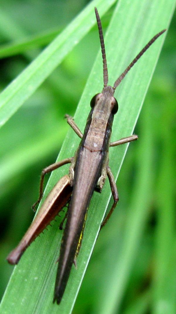 Broken leg of a Grasshoper
