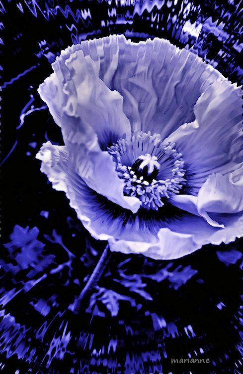 ... fleur bleue ...