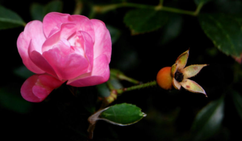 la Rose et le Nu ...