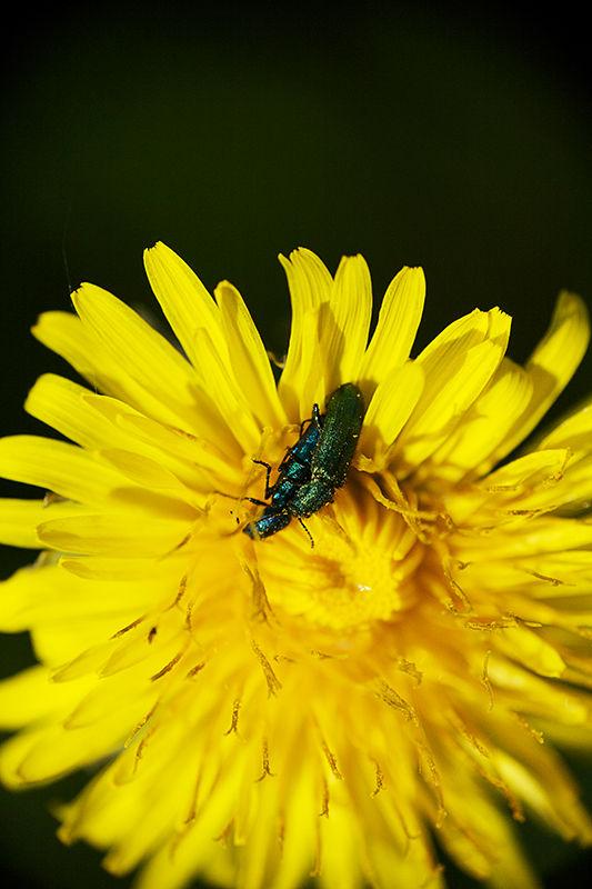 Des amours de scarabées