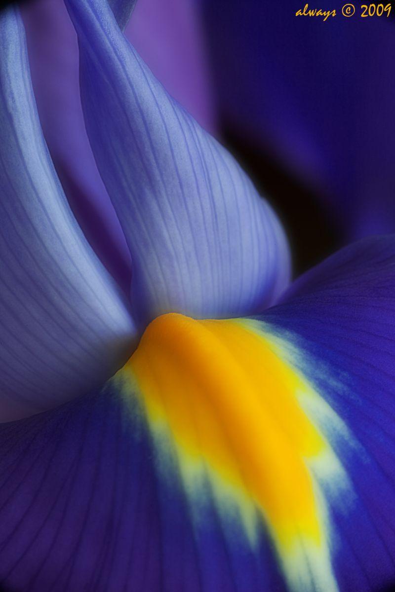 Iris Abstract
