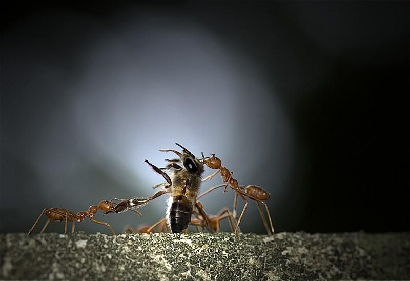ant macro insect weaverant