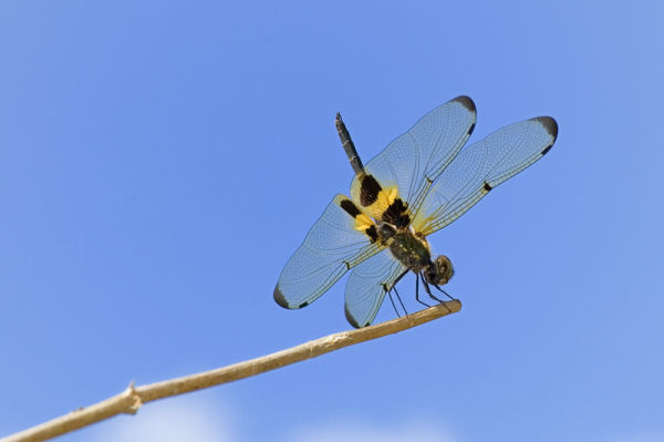 macro insect libel dragonfly rhyothemis phyllis