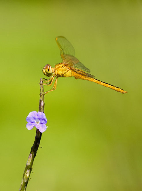 dragonfly libel neurothemis
