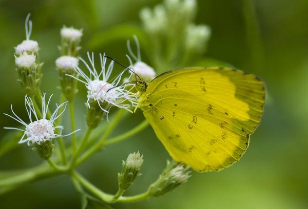butterfly eurema blanda three-spot grass yellow