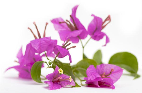 bougainvillea flower pink nyctaginaceae
