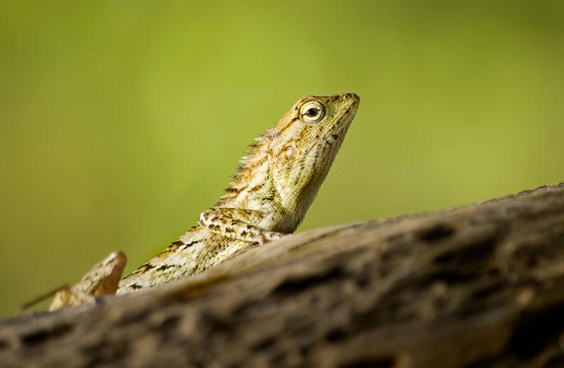 hagedis lizard reptile sauria squamata Thailand