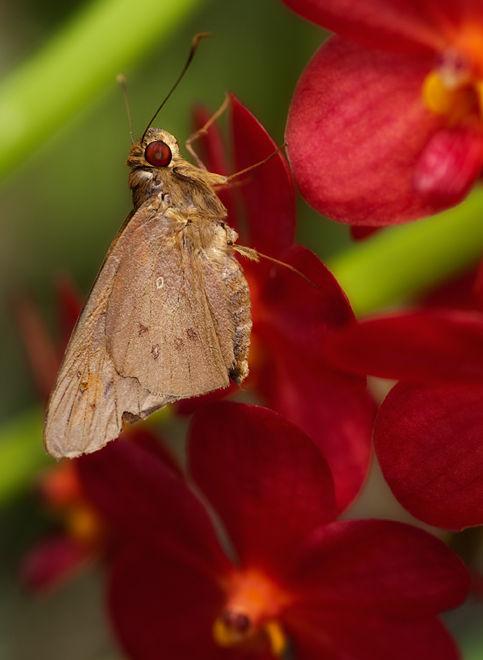 dikkopje skipper vlinder butterfly orchid orchidee