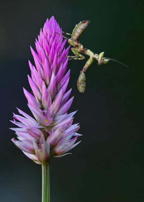 bidsprinkhaan praying mantis on flower mantodea