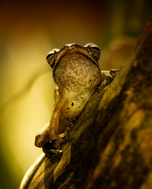 reptile tree frog boomkikker Thailand